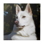 Kodah The White Shepherd Wolfdog Tile