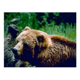 Kodiak Brown Bear Postcard
