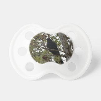 KOEL BLACK BIRD RURAL QUEENSLAND AUSTRALIA PACIFIER