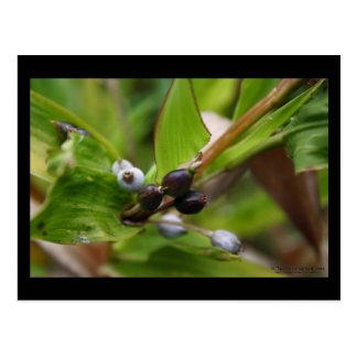 Kohala Valley Berries 2 - Hawaii Postcard