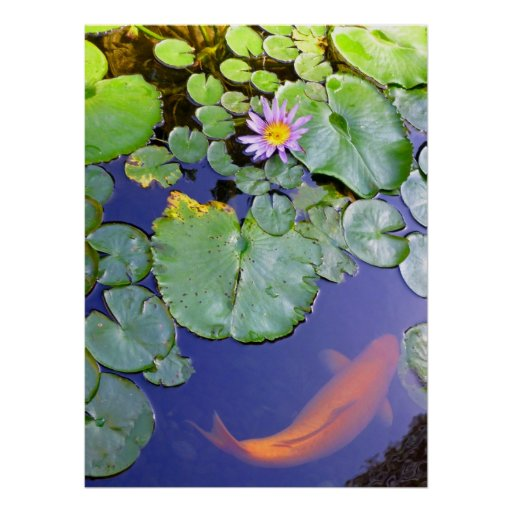 Koi and Water Lily Posters