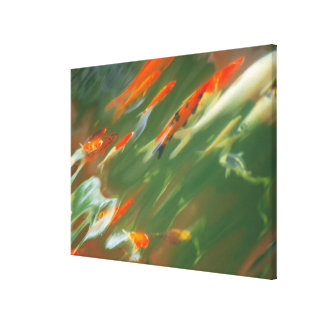 Koi carp fish swimming in a pond gallery wrapped canvas