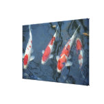 Koi carp in pond, high angle view stretched canvas prints