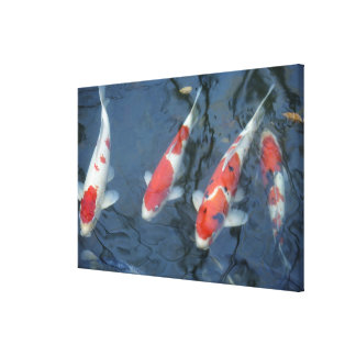 Koi carp in pond high angle view stretched canvas prints