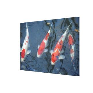 Koi carp in pond, high angle view canvas print