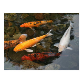 Koi Fish In Pond Photograph Postcard