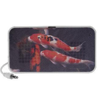 Koi swimming in pool travelling speakers