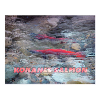 Kokanee Salmon Postcard