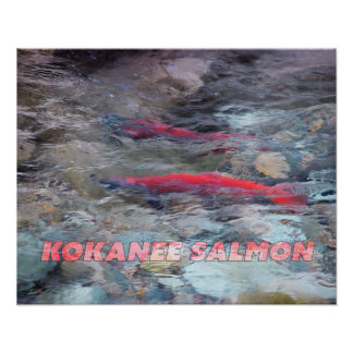 Kokanee Salmon Poster