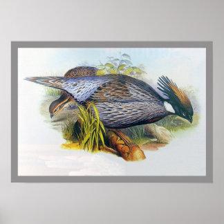 Koklass Pheasant Poster
