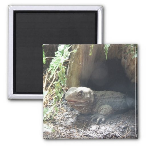 Komodo Dragon Coming Out Of His Home Under Tree 2 Inch Square Magnet