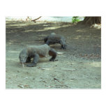 Komodo Dragons Postcard