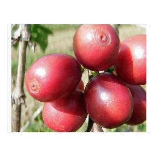 Kona Coffee Cherries - different view Postcard