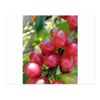 Kona Coffee -  Cherries Postcard