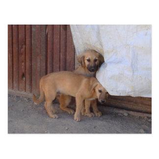 Koochee Pups Postcard