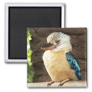 Kookaburra Imán Cuadrado