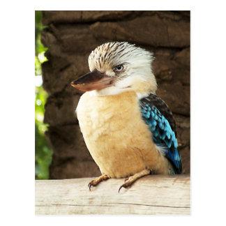 Kookaburra Tarjetas Postales
