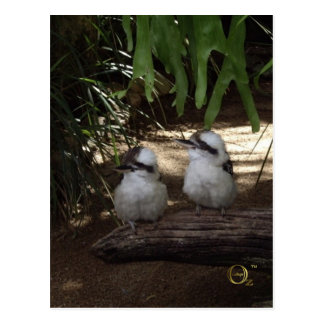 Kookaburras Laughing Postcard