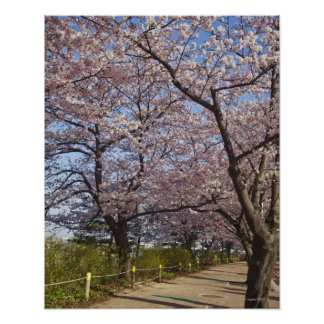 Korea, Seoul, Yeouido, Cherry blossoms on Poster