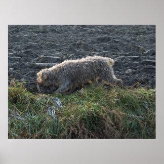 Korthals Griffon - Tsjip que vaga por la tierra Poster