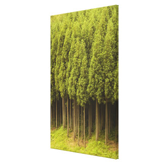 Koya Sugi Cedar Trees Canvas Print