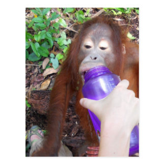 Krista Orangutan at Recess in the Rainforest Postcard