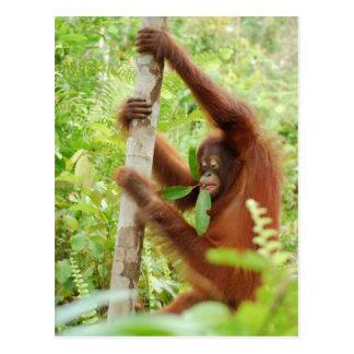 Krista Orangutan Borneo Forest Postcard