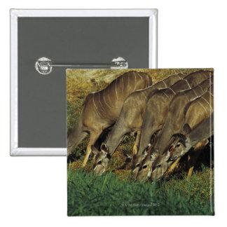 Kudu drinking Chobe National Park Botswana Button