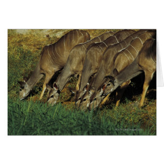Kudu drinking , Chobe National Park , Botswana Greeting Card