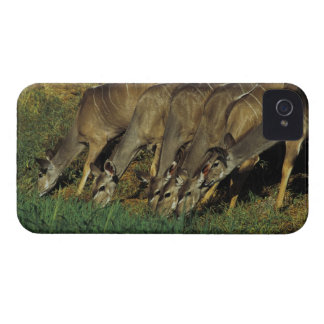 Kudu drinking , Chobe National Park , Botswana iPhone 4 Case