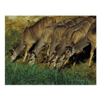 Kudu drinking , Chobe National Park , Botswana Postcard