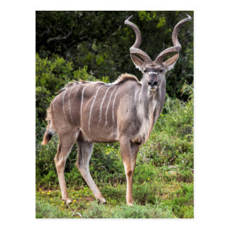 Kudu. Postcard