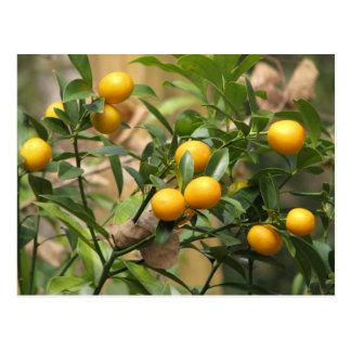 Kumquats dulces postal