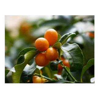 Kumquats on Kumquat Tree Branch Postcard
