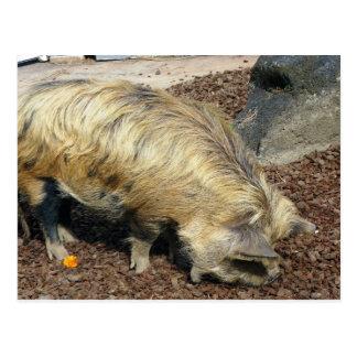Kunekune Pig Postcard