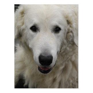 Kuvasz Dog Breed Postcard