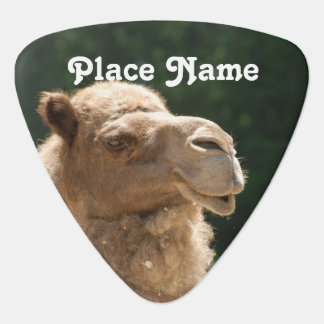 Kuwaiti Camel Pick