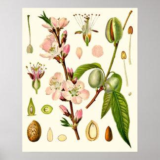 La almendra florece botánico póster