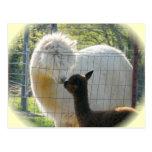 La alpaca besa la postal