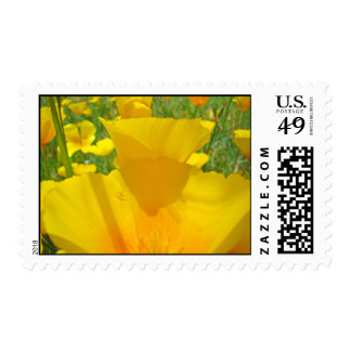 La amapola florece sellos del verano del prado