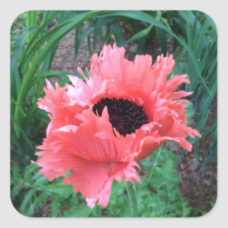 """La AMAPOLA oriental """"rosa riza"""" -- Pegatina Cuadrada"""