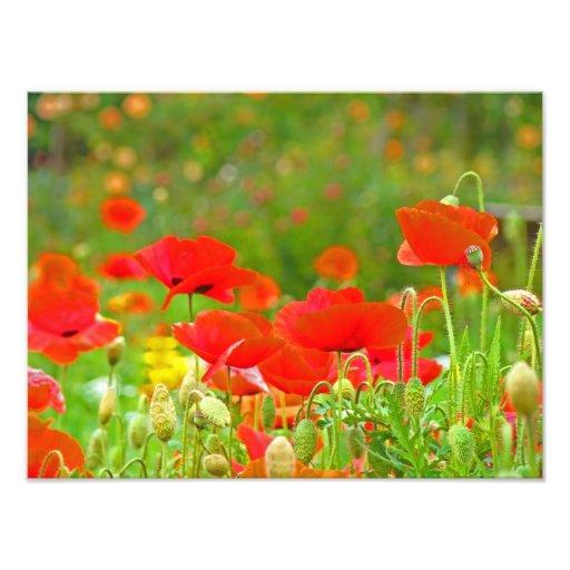 La amapola roja florece amapolas de la fotografía cojinete