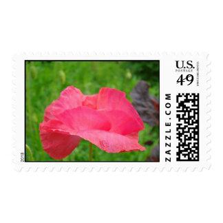 La amapola rosada florece verano de los sellos