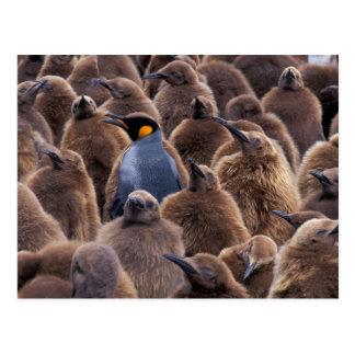 La Antártida, isla del sur de Georgia, pingüinos Tarjetas Postales