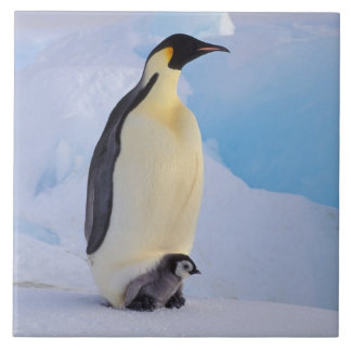 La Antártida, pingüino de emperador (Aptenodytes Azulejo Cuadrado Grande