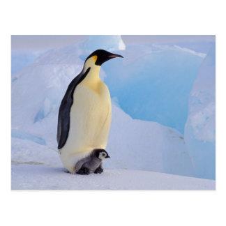 La Antártida, pingüino de emperador (Aptenodytes Postal