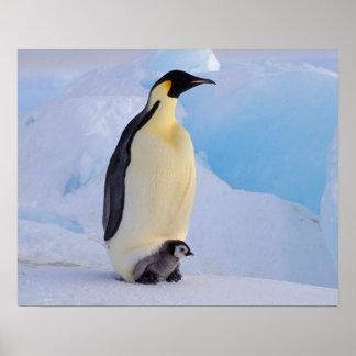 La Antártida, pingüino de emperador (Aptenodytes Póster