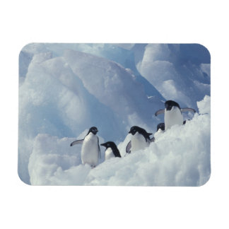 La Antártida. Pingüinos de Adelie Imán