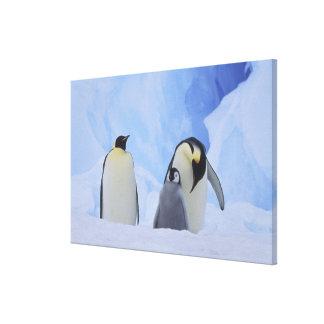 La Antártida. Pingüinos y polluelo de emperador Impresion De Lienzo