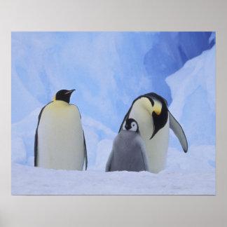 La Antártida. Pingüinos y polluelo de emperador Póster